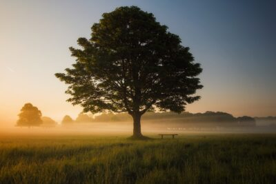 tree silhouetted in a field